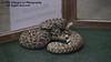 07-08-2018 Rattlesnake Dave Richardson - Rattling - 21