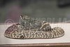 Western Diamondback Rattlesnake 07-08-2018_4BY5267 wm cm