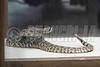 Western Diamondback Rattlesnake 07-08-2018_4BY5840 wm cm