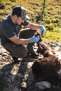 Shane butchering his bear