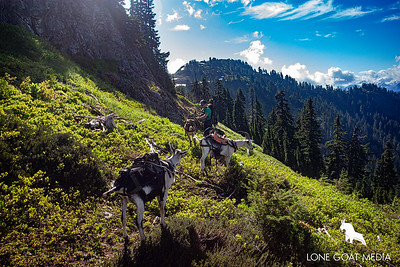 Pack goats in alpine bliss