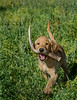 Hunting shed antlers with a yellow lab pup