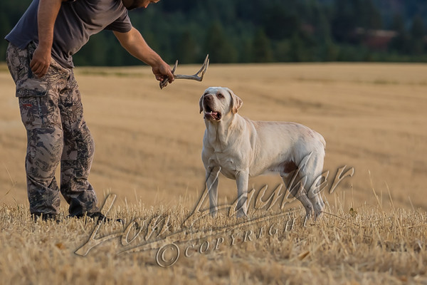Mammals, dogs, Labrador retriever, hunting shed antlers