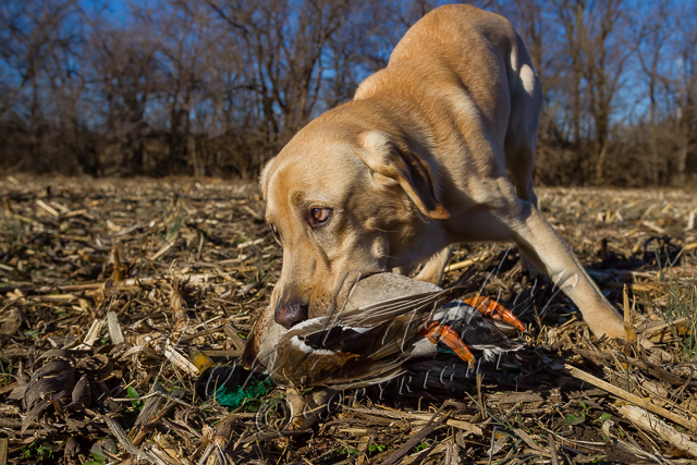 Hunting, waterfowl hunting,  duck hunting,  yellow, male, lab, Cooper, fetching, retrieving mallard drake,