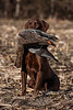 Hunting, waterfowl hunting,  goose hunting,  white-fronted goose, speckle belly goose  male, chocolate, lab, Bohdi, fetching, retrieving,