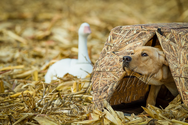Hunting, waterfowl hunting, hunting ducks and geese, cut corn field, yellow lab, Phog,