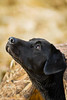 Hunting, waterfowl hunting, hunting ducks and geese,  black lab, Labrador retriever, in a mud hut, ground blind for dogs, field hunting,