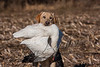 Hunting, waterfowl hunting,  goose hunting,  snow goose  yellow, male, lab, Cooper, fetching, retrieving snow goose,