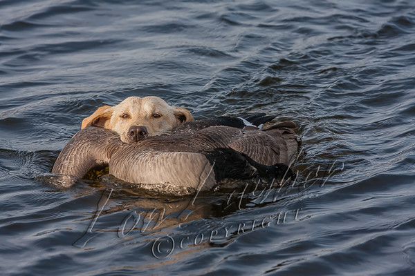 Hunting, waterfowl, yellow lab, Tori, seven months old, retrieving a Canada goose,