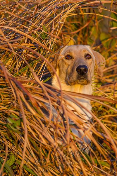 Hunting, waterfowl, yellow lab, hiding in marsh grass