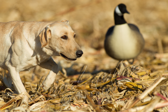 Hunting, waterfowl, yellow lab, field hunting