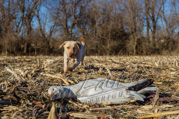 Hunting, waterfowl hunting,  goose hunting,  snow goose  yellow, male, lab, Tex, fetching, retrieving snow goose,