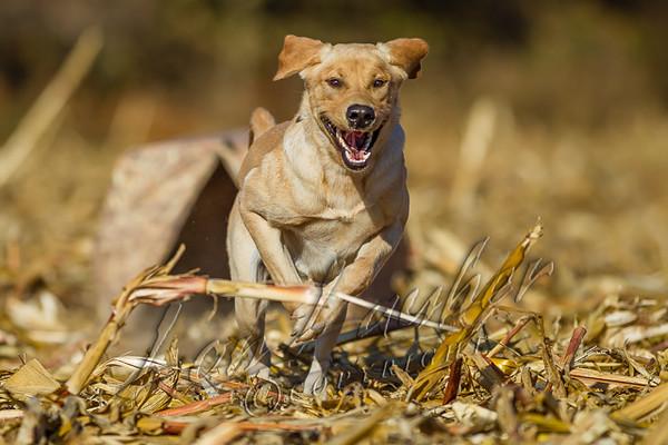 Hunting, hunting waterfowl, goose hunting, hunting Canada geese, mud hut, ground blind, yellow lab, retrieving, corn field, Phog,