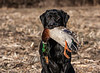 Hunting, waterfowl hunting,  duck hunting,  male, black lab, Roman, fetching, retrieving, mallard drake,