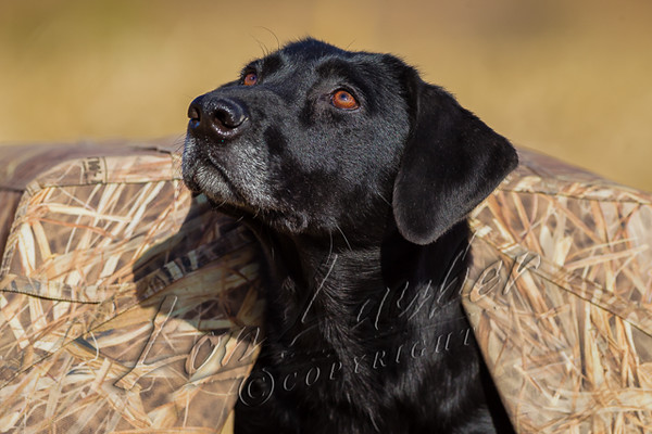 Hunting, waterfowl hunting, hunting ducks and geese, female, black, lab, Sitka, field hunting, using small ground blind or mud hut to hide dog,  watching for incoming birds,
