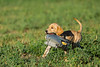 Hunting waterfowl, yellow lab pup with duck decoy