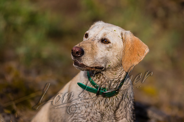 Hunting, waterfowl, yellow lab, Tori,covered in duck weed and mud after a retrieve,
