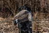 Huntng, waterfowl hunting, goose hunting, cackler, cackler Canada goose, small Canada goose, male, black lab, Bear, fetching, holding a goose,