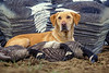 Hunting, waterfowl, yellow lab, Labrador retriever with geese and goose shell decoys.