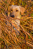 Hunting, waterfowl, yellow lab, hiding in marsh grass