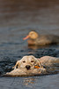 Hunting, waterfowl, yellow lab, Tori, retrieving a mallard hen, duck,