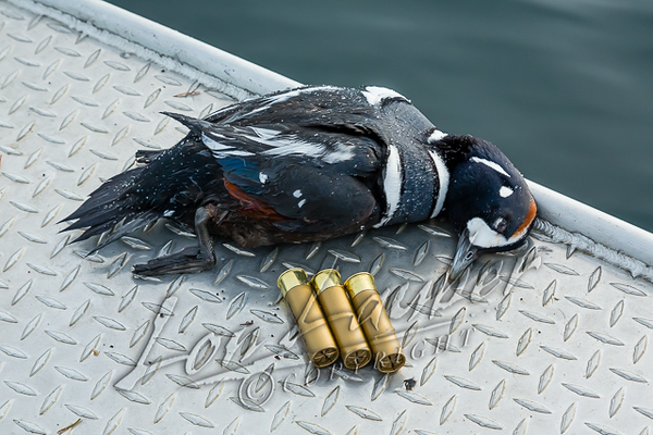 Hunting waterfowl, hunting harlequin ducks