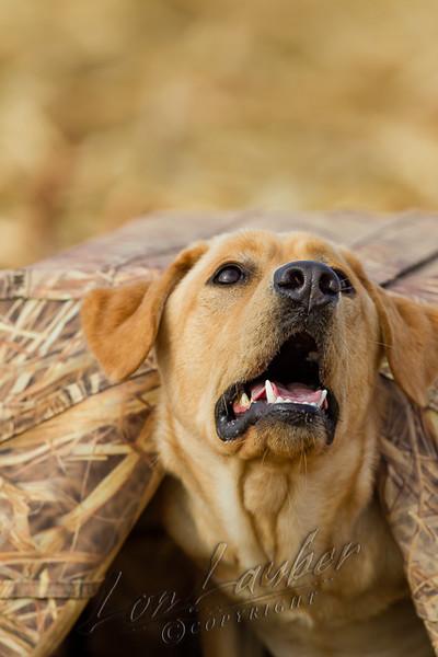 Hunting, waterfowl hunting, hunting ducks and geese, cut corn field, yellow lab, Phog,