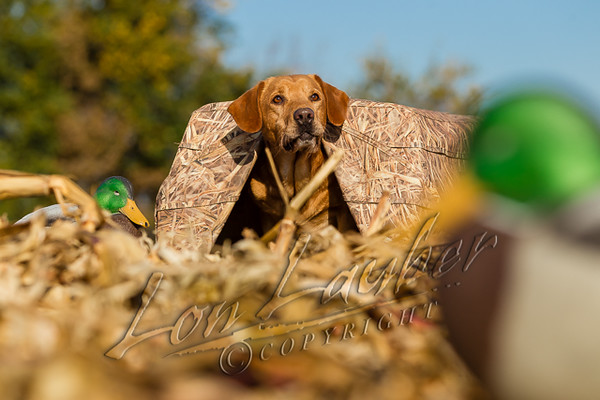 Hunting, waterfowl hunting, hunting ducks and geese,  yellow lab, Labrador retriever, in a mud hut, ground blind for dogs, field hunting,
