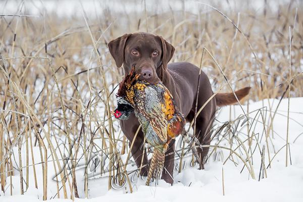 Hunting, hunting upland birds, pheasant hunting
