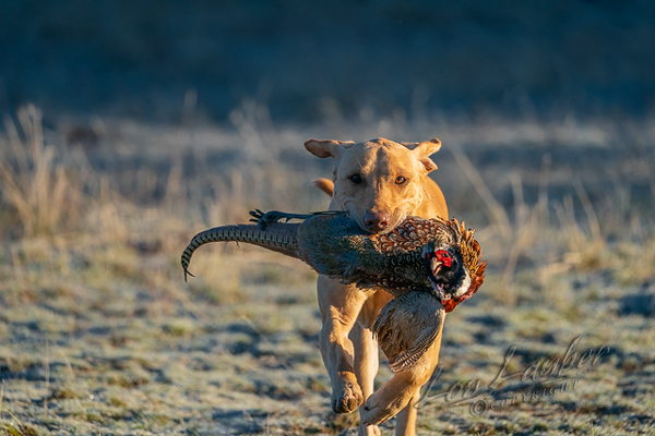 Hunting upland birds, yellow lab retrieving a rooster pheasant