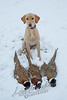 Hunting, hunting pheasants, upland bird hunting