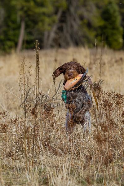 Hunting upland birds, pheasant hunting, retrieving a pheasant dummy, training