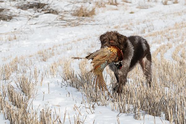 Hunting, upland bird hunting, pheasant hunting  pheasant hunting