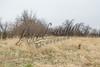 Upland bird hunting, bobwhite quail flushing near lab,