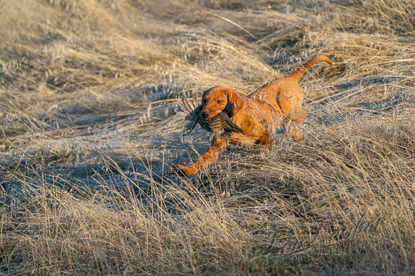 Hunting upland birds, lab puppy with quail