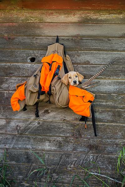 Upland bird hunting, yellow pointing lab pup