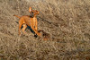 Hunting upland birds, lab puppy with rooster pheasant