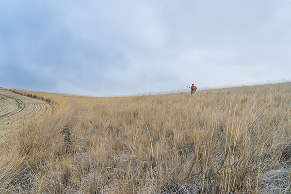 Hunting, upland bird hunting, pheasant hunting with yellow pointing lab, Tanni