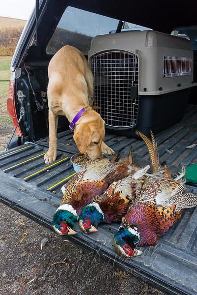 Hunting, hunting pheasants, upland bird hunting