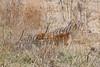 Hunting upland birds, yellow lab