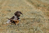 Hunting, upland bird hunting, German wire haired pointer puppy