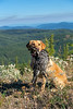 Hunting, blue grouse hunting, Lab holding a blue grouse