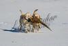 Upland bird hunting, pheasant hunting, winter, snow