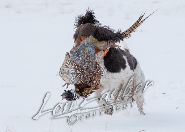 Hunting, pheasant hunting in the snow