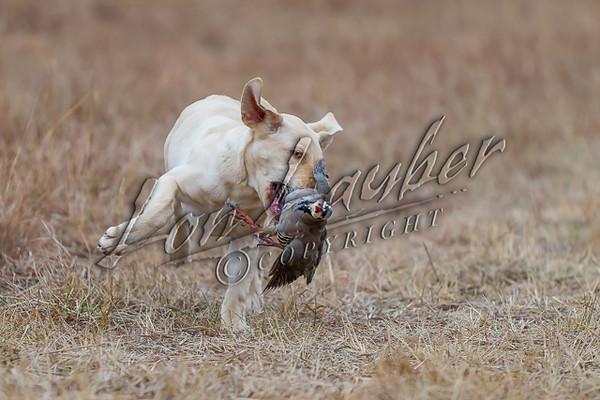 Upland bird hunting, yellow lab pup