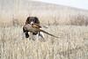 Hunting, upland bird hunting, pheasant hunting