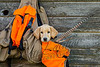 Upland bird hunting, yellow pointing lab pup