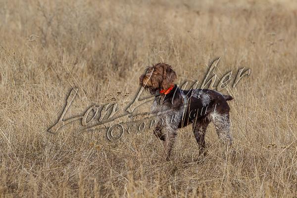 Hunting upland birds, pheasant hunting