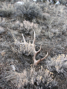 You must complete a free online shed antler gathering course before gathering shed antlers in Utah this year (2009). The course is available at www.wildlife.utah.gov/shedantler.  Photo taken 3-24-06, courtesy of Utah Division of Wildlife Resources  Shed elk antler photo by Dax Mangus, Utah Division of Wildlife Resources