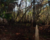 Cypress Knee field in the swamp.